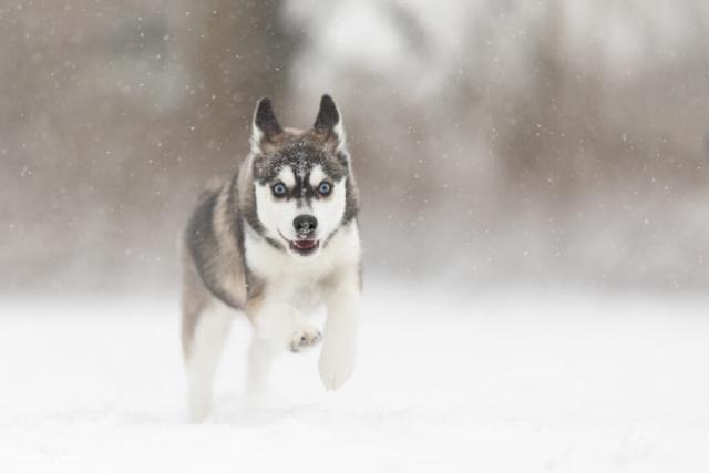 marleen Verheul Fotografie, hondenfotografie, hondenfotograaf, Pomski in de sneeuw