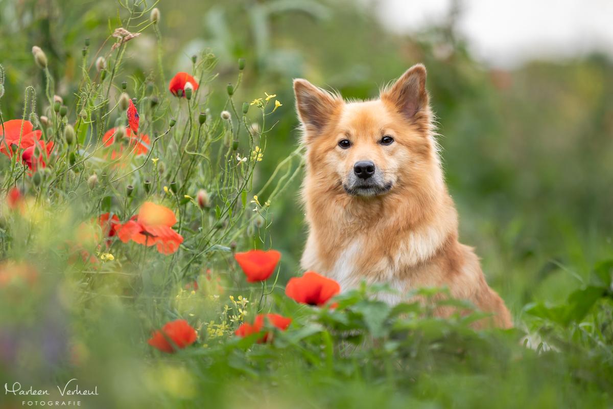 Marleen Verheul Fotografie, hondenfotografie, hondenfotograaf, hondenportret, IJslandse hond tussen de klaprozen