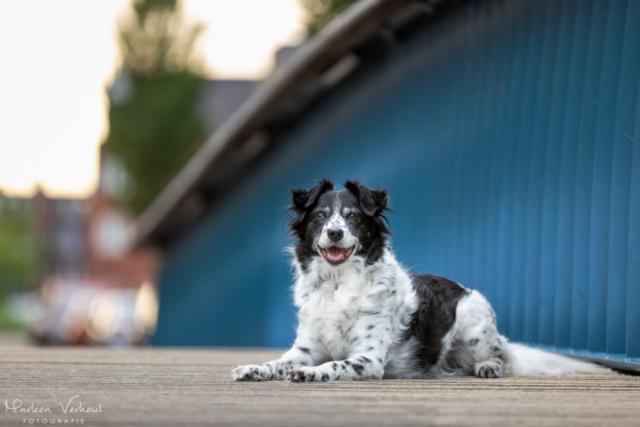 Marleen Verheul Fotografie, hondenfotografie, hondenfotograaf, hondenportret, hond op een brug