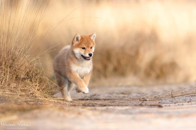 Marleen Verheul Fotografie, hondenfotografie, hondenfotograaf, actiefotografie, hond in actie, Shiba Inu pup