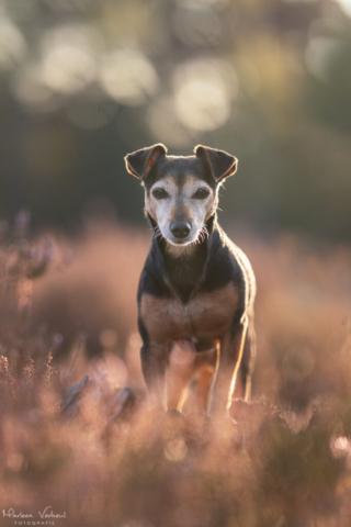 Marleen Verheul Fotografie, hondenfotografie, hondenfotograaf, Jack Russell