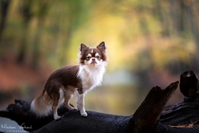 Marleen Verheul Fotografie, hondenfotografie, hondenfotograaf, hondenportret, Chihuahua op landgoed Clingendael in Den Haag