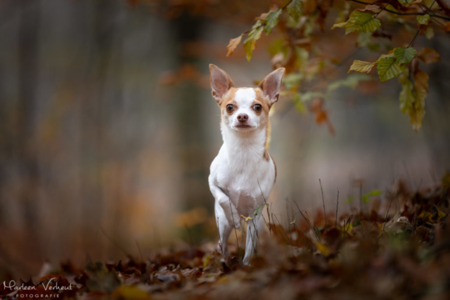 Marleen Verheul Fotografie, hondenfotografie, hondenfotograaf, hondenportret, Chihuahua in het bos