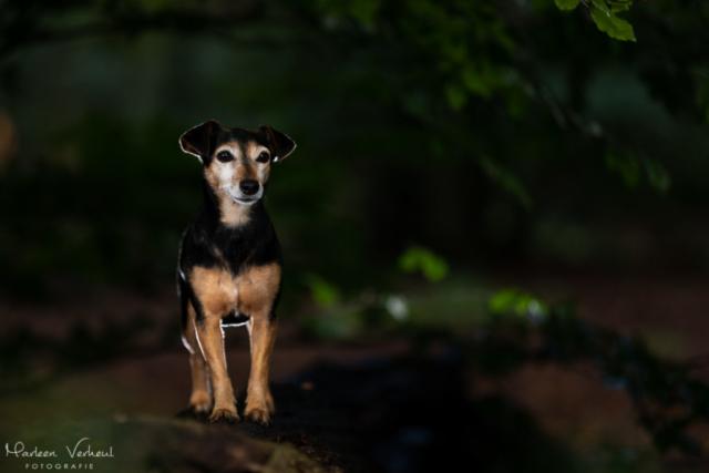 Marleen Verheul Fotografie, hondenfotografie, hondenfotograaf, hondenportret, strobist fotografie, Jack Russell in het bos