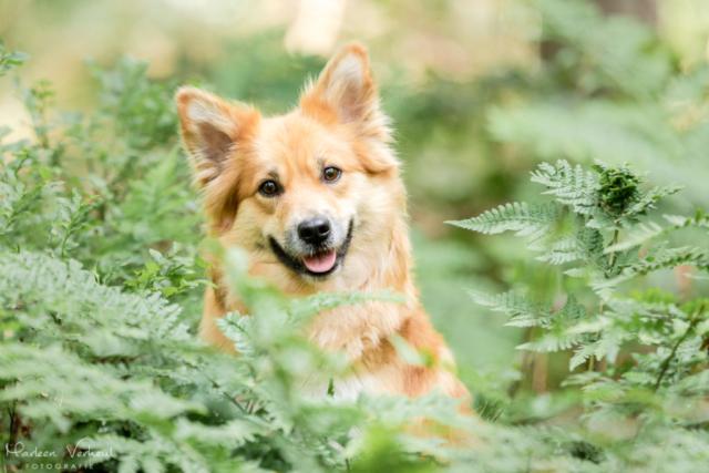 Marleen Verheul Fotografie, hondenfotografie, hondenfotograaf, hondenportret, IJslandse hond tussen de varens